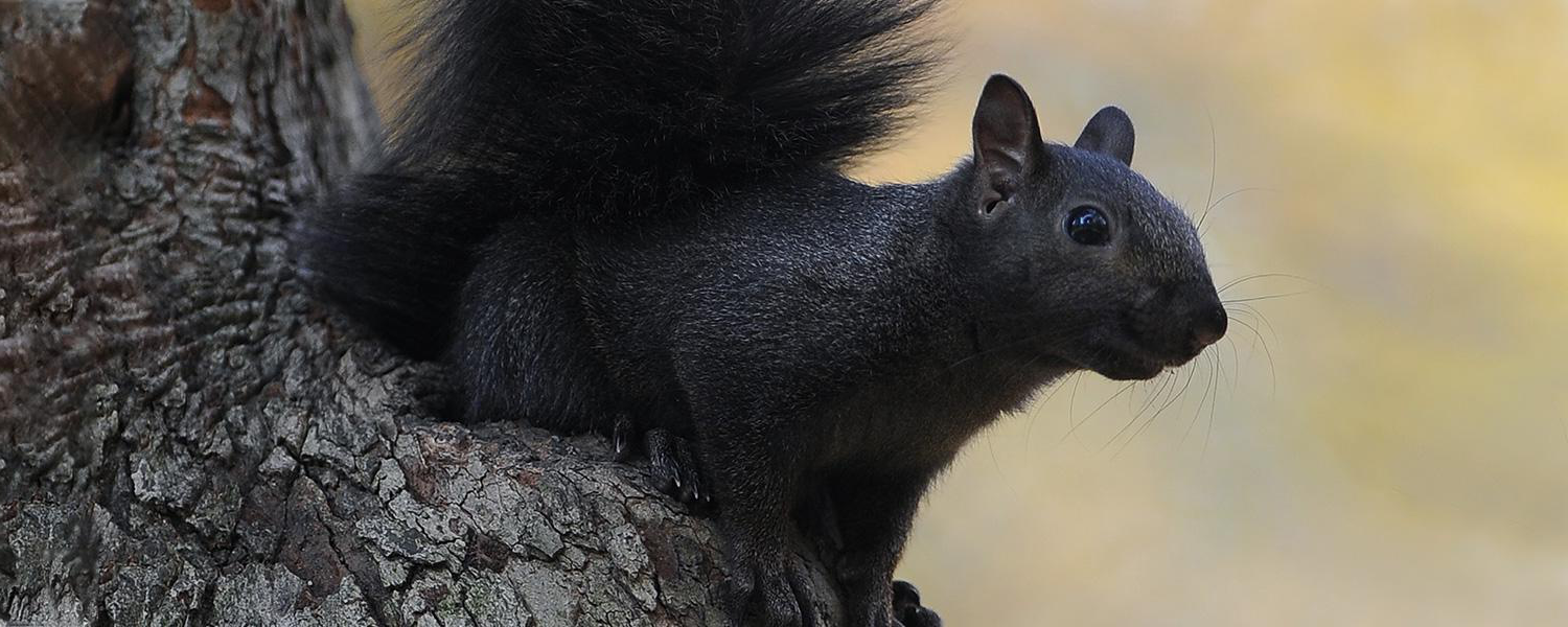 Photo of Kent State Black squirrel, in a tree on campus